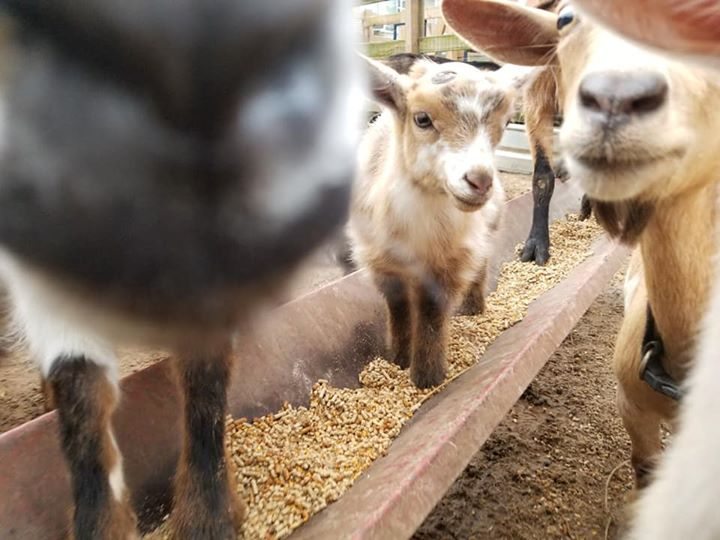 Nigerian Dwarf goats, babies & adults for sale