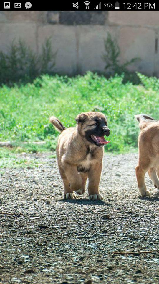 Happy Armenian gampr puppy