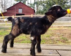 Nigerian Dwarf goats, babies & adults for sale