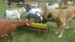 ADGA Registered Nigerian Dwarf herd