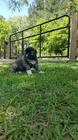 Puppy Hasmik