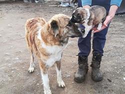 Armenian Gampr Shushi puppy