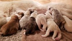 new pups for Ara x Dzmerr!