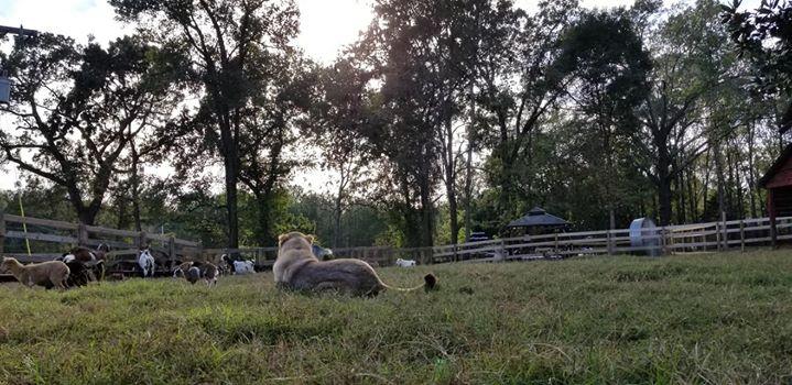 Watching over her herd