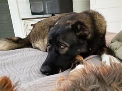 Sev, my Armenian Gampr heart dog