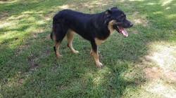 Armenian Gampr imported puppy Kasagh