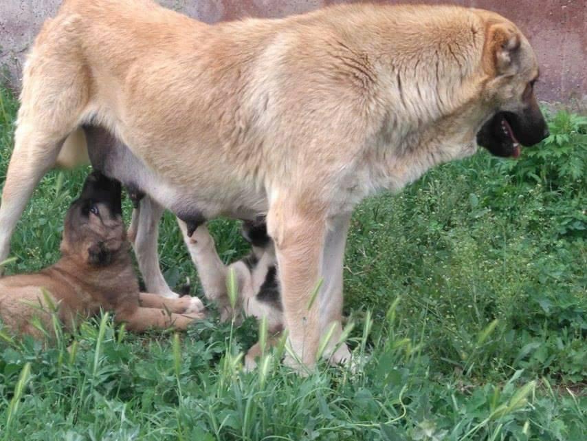gampr puppy in Armenia