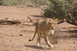 My first lioness in Mashatu