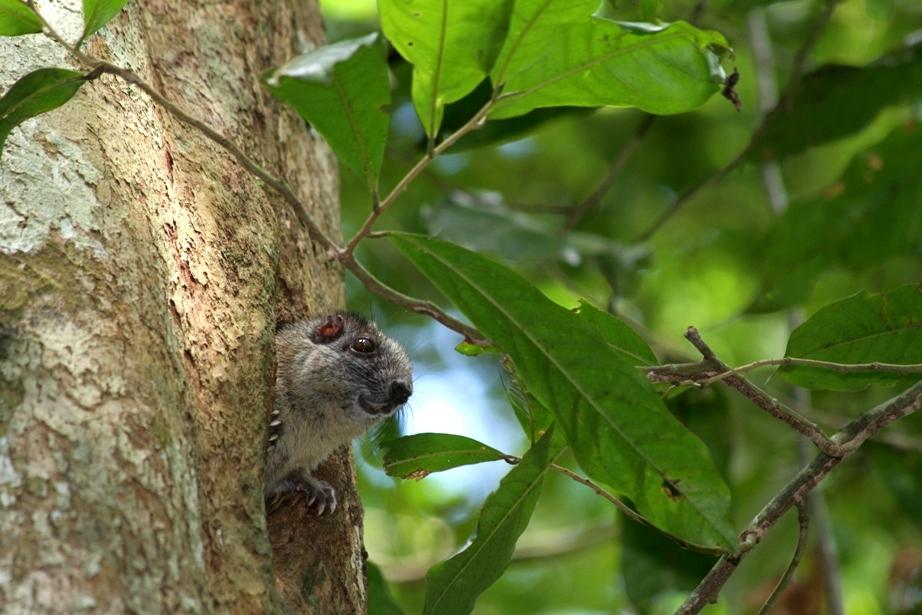 Tree rat