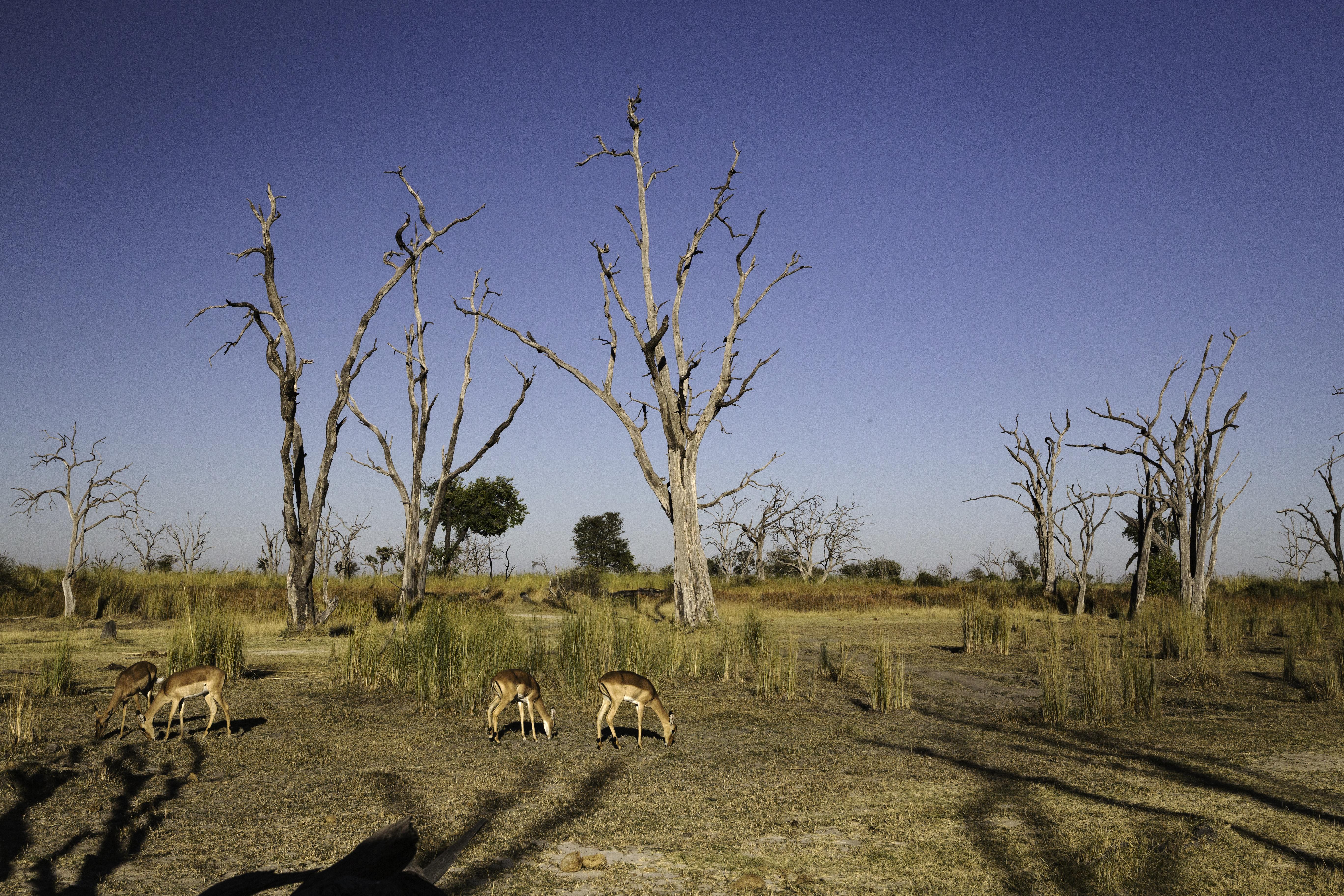 Lebala Impala