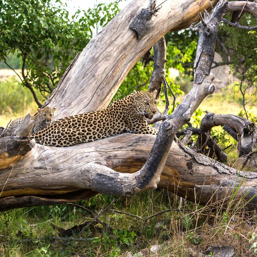 Leopard and mum