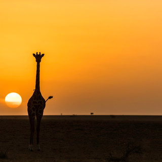 Sunset with a a giraffe in Ol Donyo