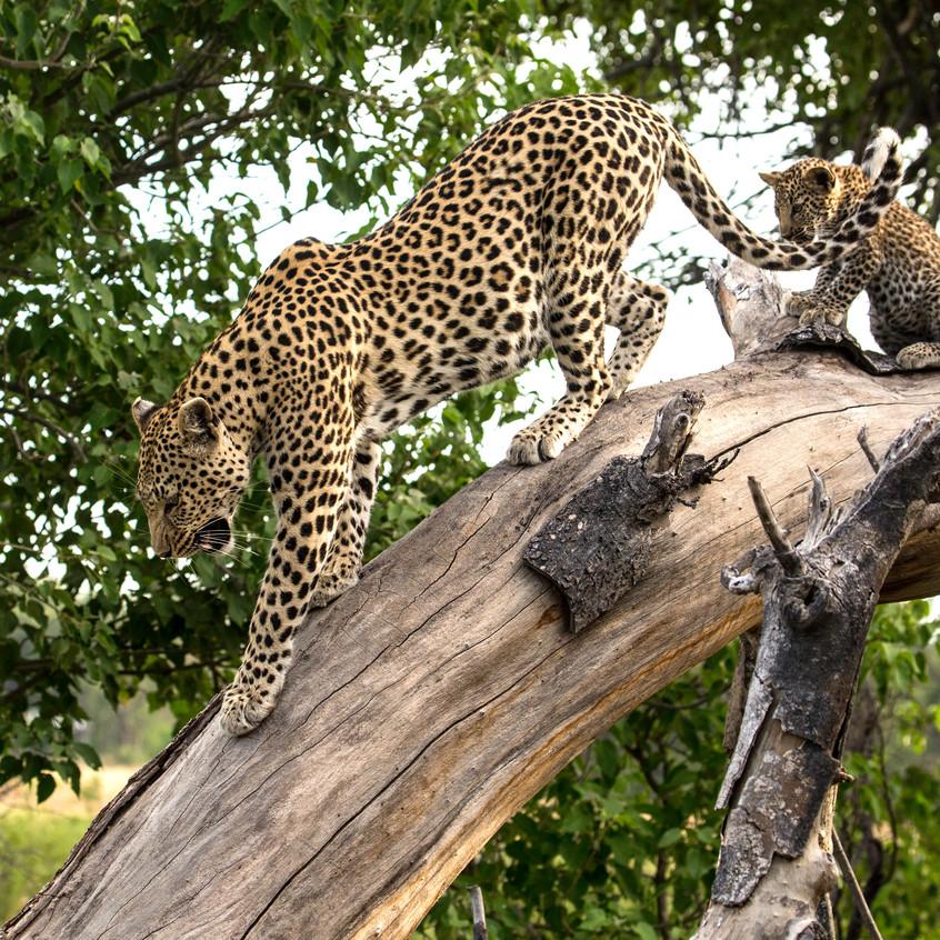 Leopard and mum 2