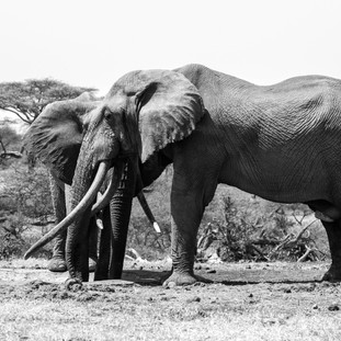 Magnificient elephants in Ol Donyo
