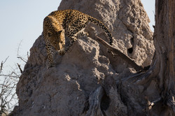 Lebala Leopard