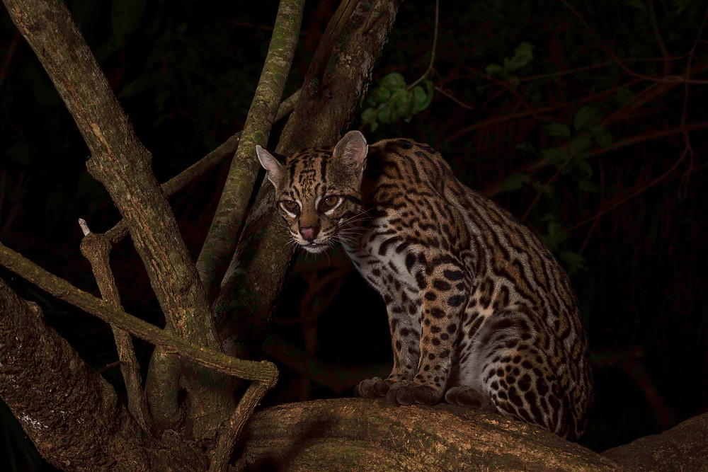 A wild ocelot observes us from atop a tree. This is a male from a litter of two born in 2013. The female was also frequently observed and was seen to be affected by a skin disease. However, she seems to survive well inspite of this seemingly disturbing affectation.