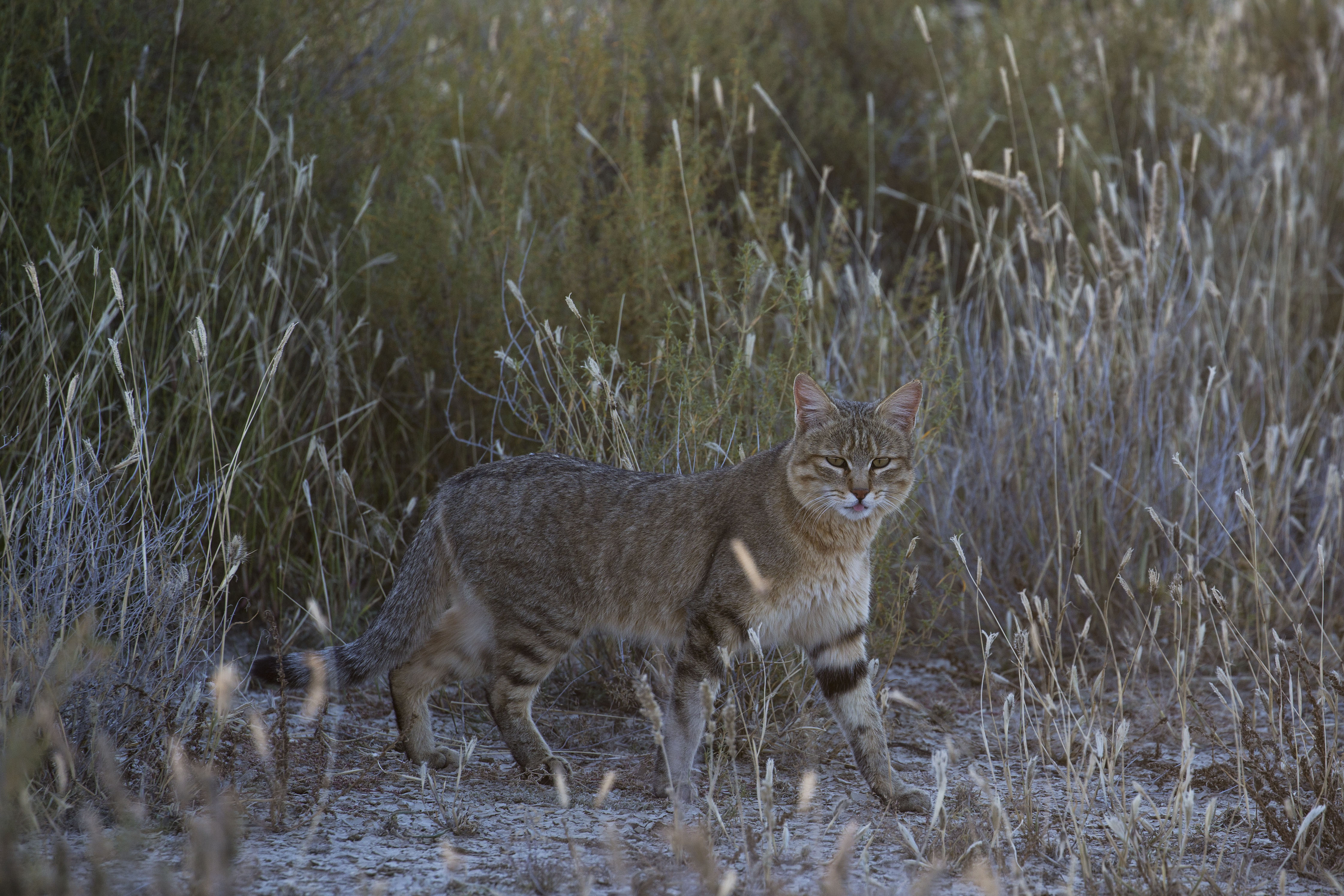 KTP Wild cat