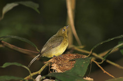 Wire tail manakin female on nest