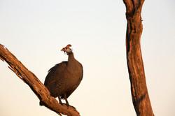 Lebala Helmeted guinea fowl