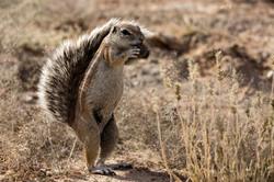 KTP Ground squirrel