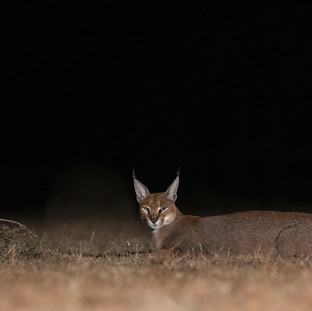Caracal in Ol Donyo