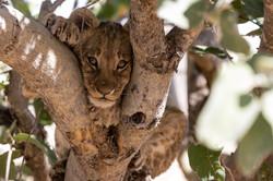 Lebala Lion cub