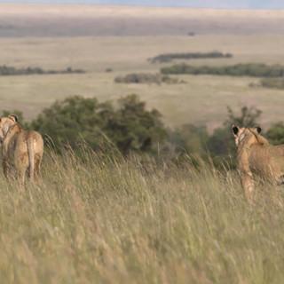 Lionesses at a kill