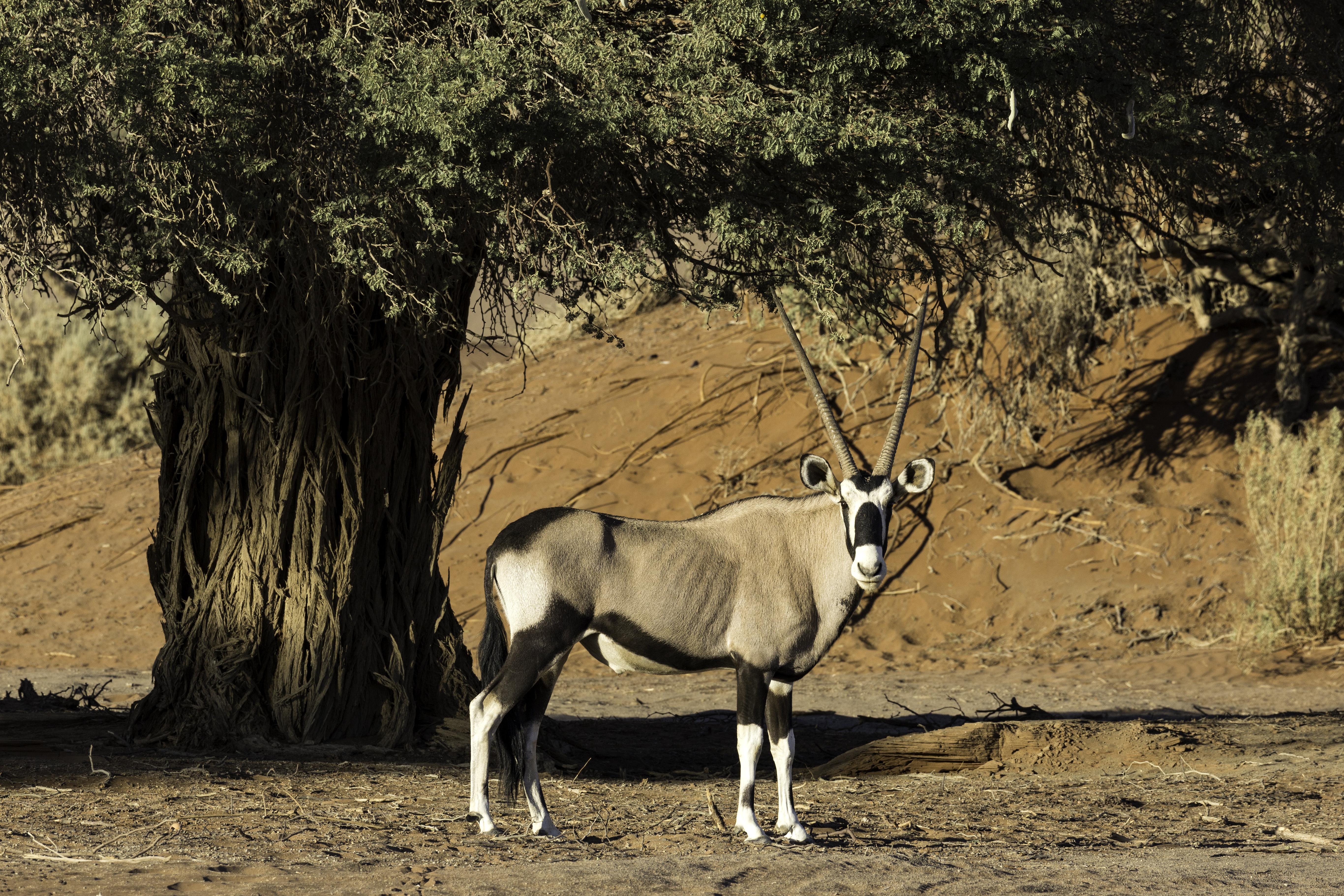 Soussusvlei oryx