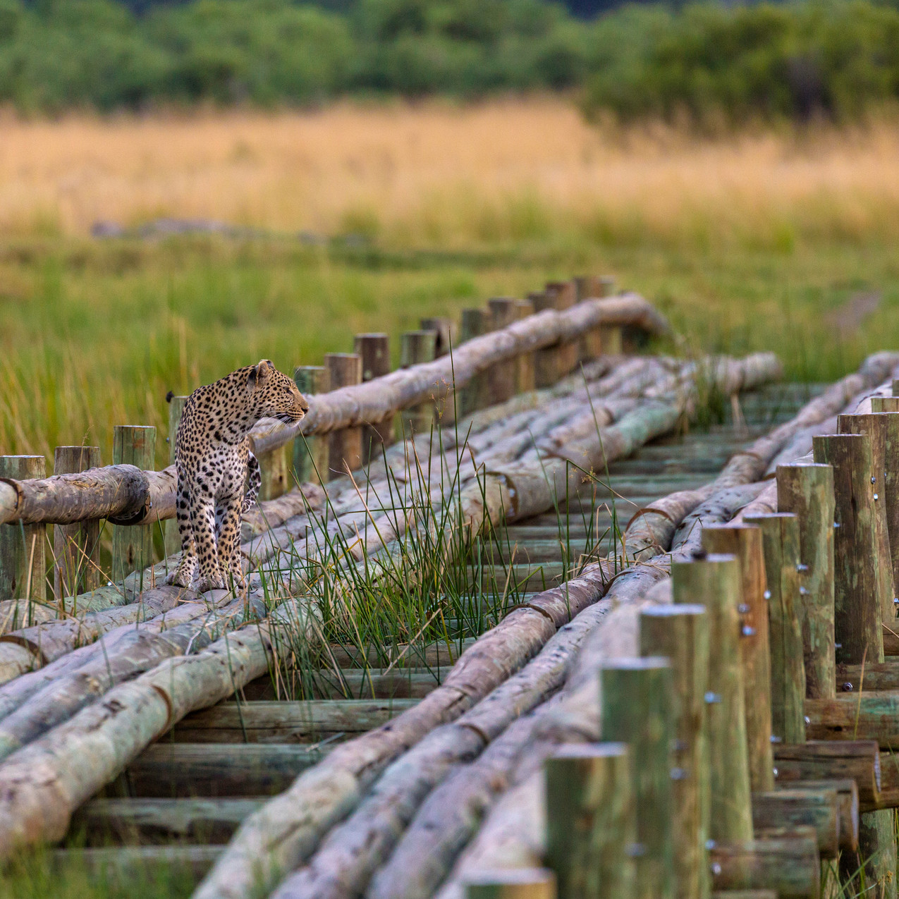 Leopard hunt 1