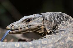 Monitor lizard portrait