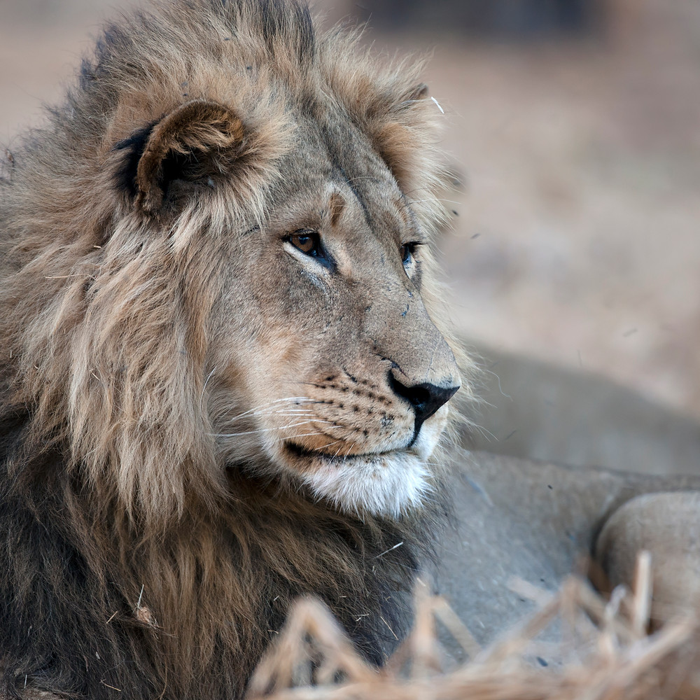 Linyanti, Botswana: a pride of lions rests in a forest.