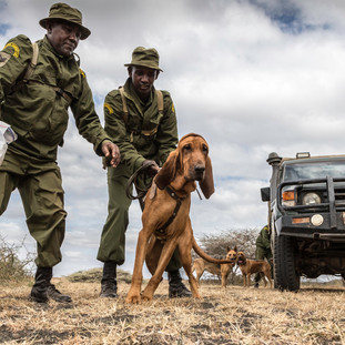 Tracker dogs in training