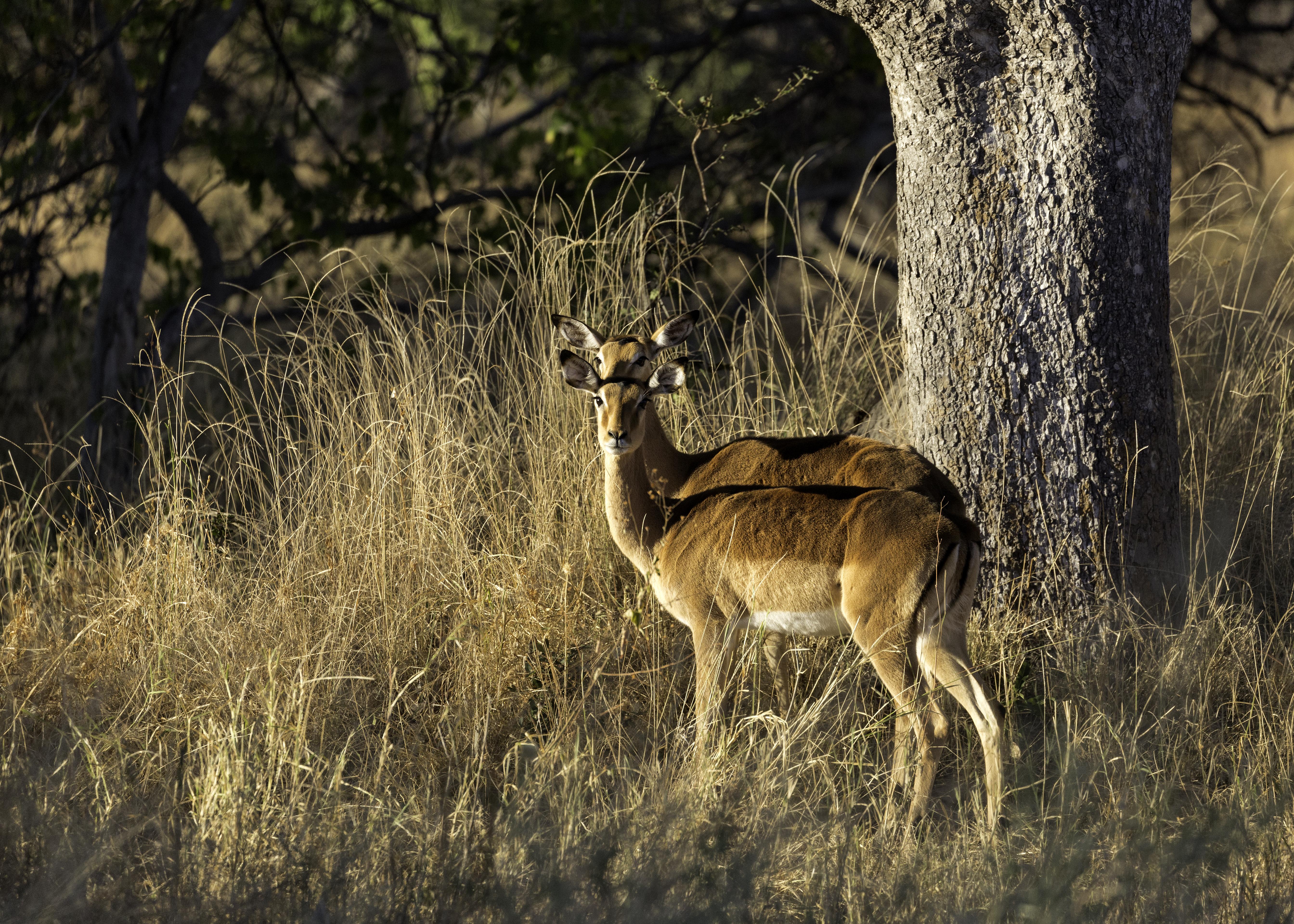 Xana Impala