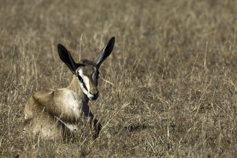 KTP young Springbok