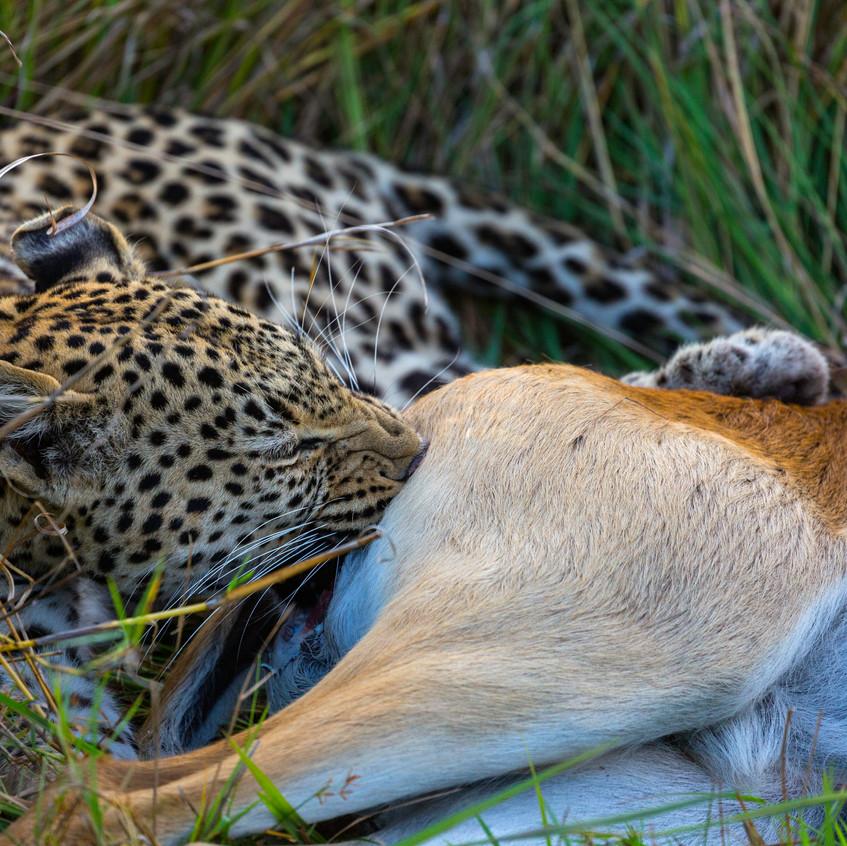 Leopard hunt 5