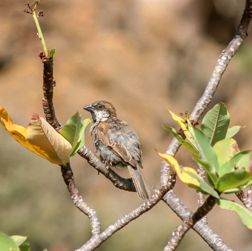 Endemic Socotra Sparrow