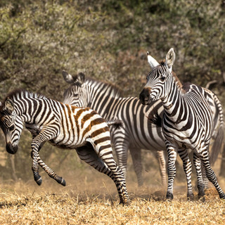 Young zebra in Ol Donyo