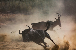 KTP Wildebeest and Red hartbeest
