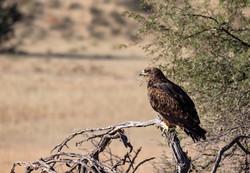 KTP Tawny eagle