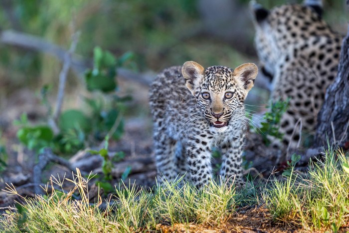 Africa Geographic picks up my text and photos about my afternoon with a leopard and her cub.