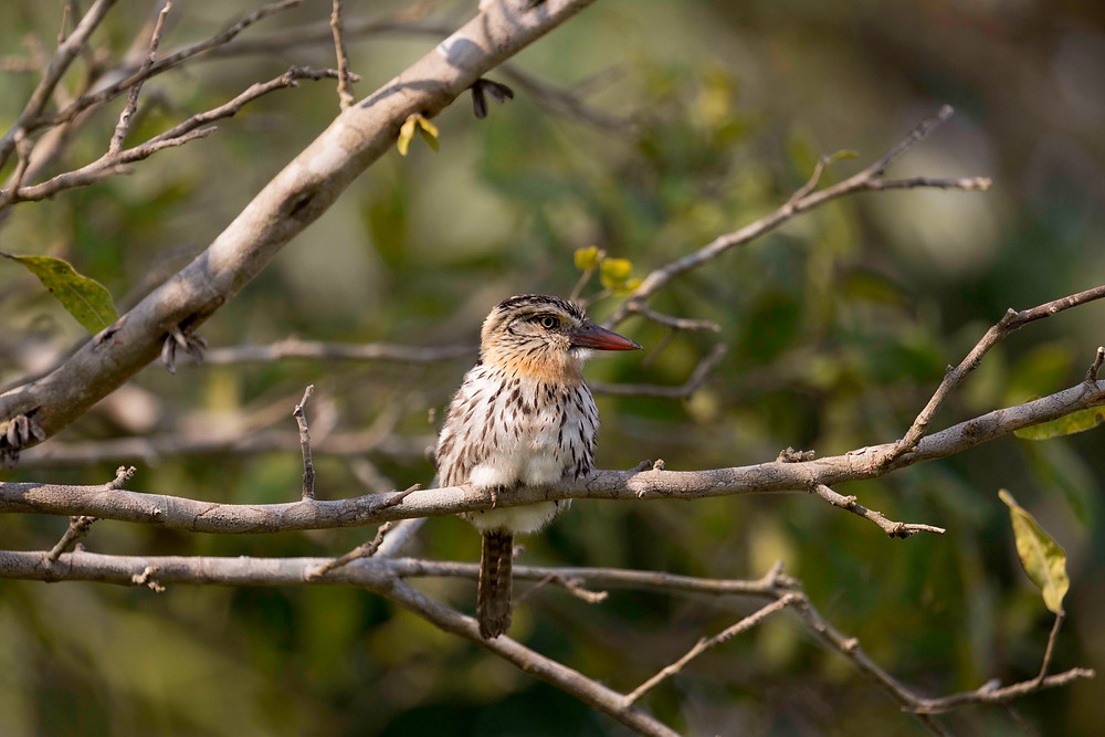 Puffbirds are among a myriad f bird species that can be observed on the Pousada Aguape.