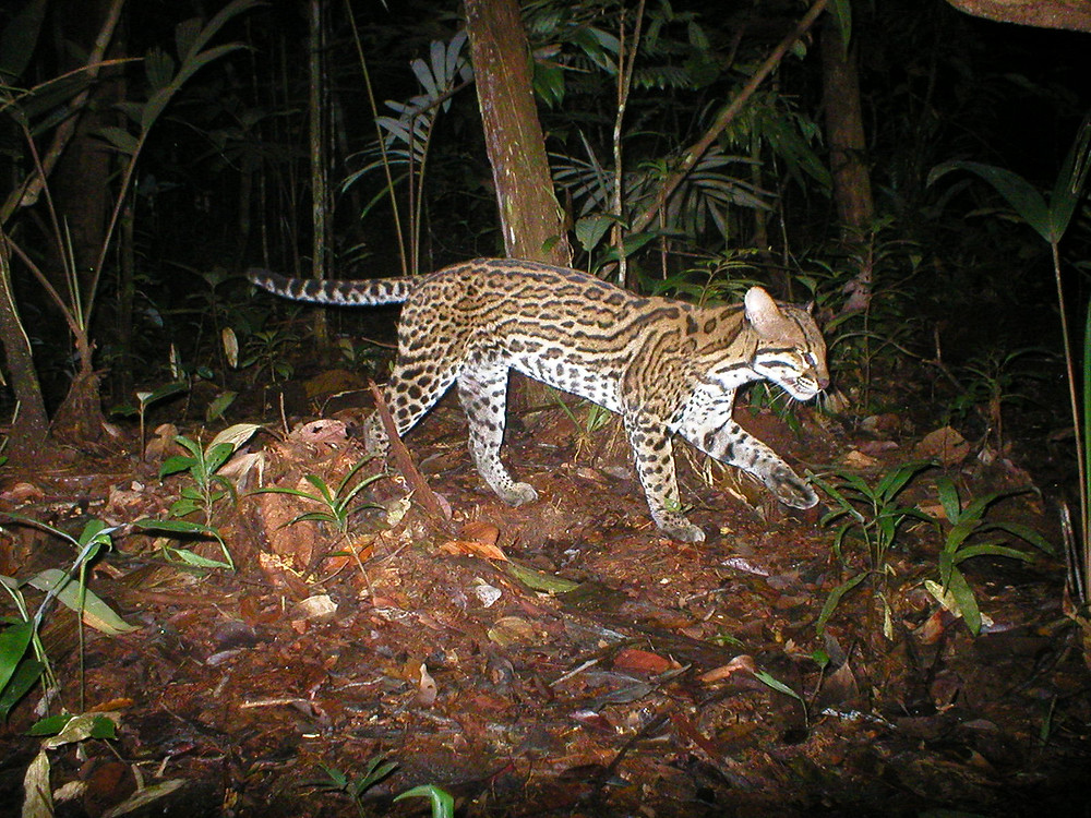 One of 23 ocelot captured on my camera traps during my research in the Peruvian Amazon.