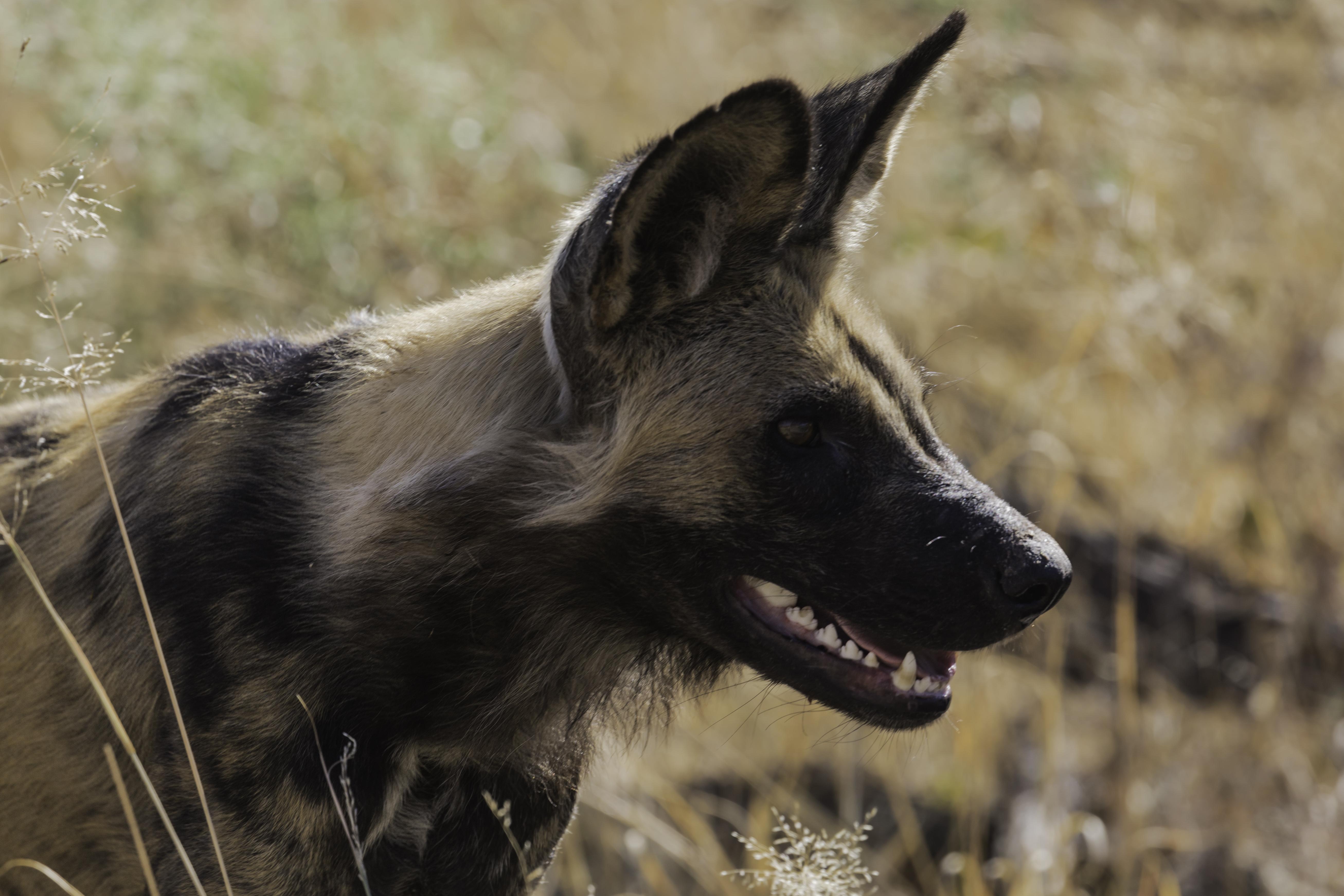 Lebala Wild dog