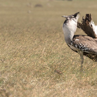 Bustard in full mating display