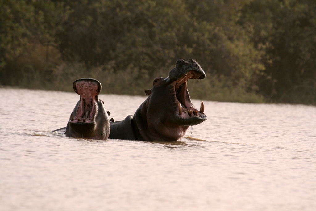 Hippos yawning