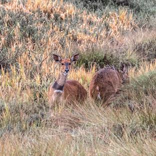 Bushbuck in moorland-Aberdare