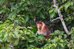 Probocis monkey