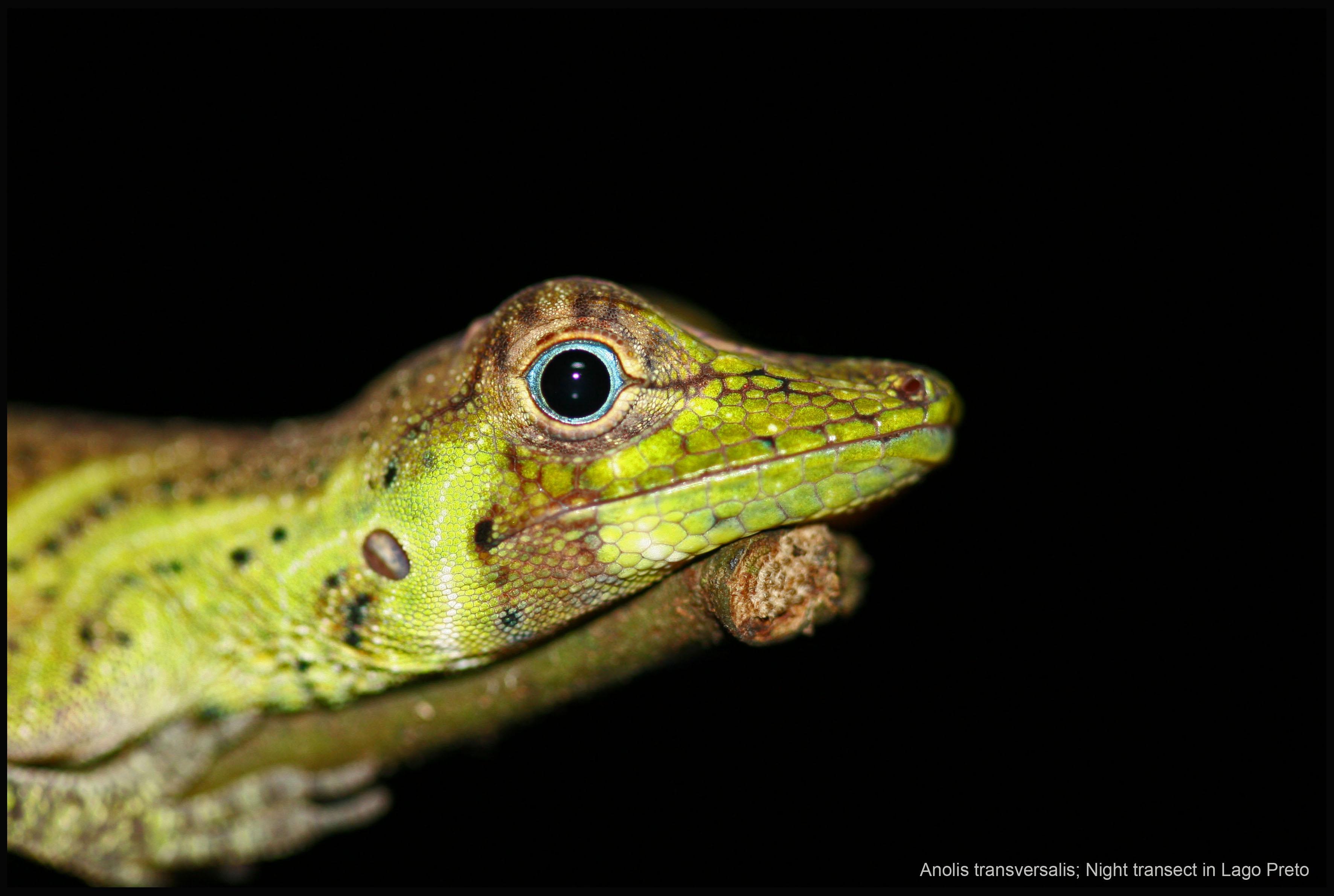 Lizard in the night
