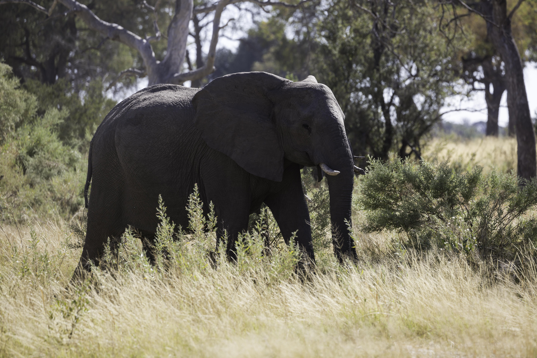 Lebala Elephant
