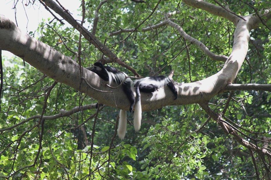 Colobus monkeys